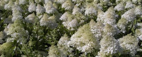 Hydrangea paniculata Hybriden (Rispenhortensien)