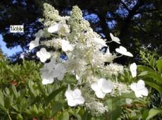 Hydrangea paniculata 'Kyushu' -Rispenhortensie-