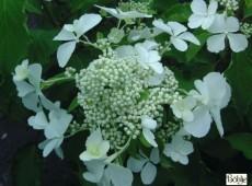 Hydrangea paniculata 'Levana' -S- -Rispenhortensie-