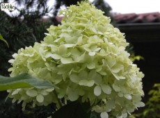 Hydrangea paniculata 'Limelight' -S-  -Rispenhortensie-