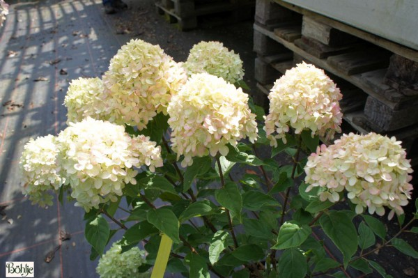 Hydrangea paniculata 'Little Lime' -Rispenhortensie-