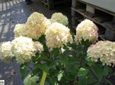 Hydrangea paniculata 'Little Lime' ® -Rispenhortensie-