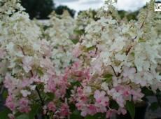 Hydrangea paniculata 'Magical Candle' ® -Rispenhortensie-