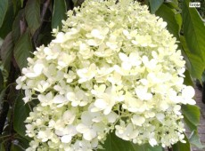 Hydrangea paniculata 'Magical Moonlight' -Rispenhortensie-