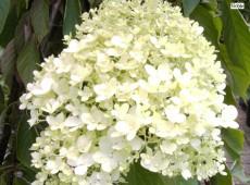 Hydrangea paniculata 'Magical Moonlight' -Rispenhortensie-