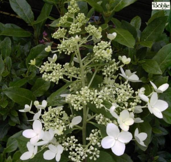 Hydrangea paniculata 'Mid Late Summer' -Rispenhortensie-