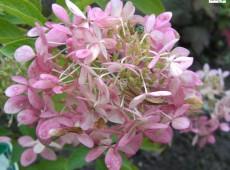 Hydrangea paniculata 'Phantom' -Rispenhortensie-