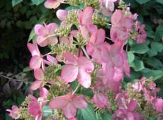Hydrangea paniculata 'Pink Diamond' -Rispenhortensie-