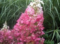 Hydrangea paniculata 'Pinky Winky' ® -Rispenhortensie-