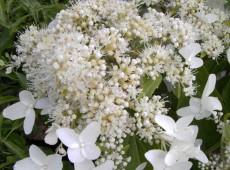 Hydrangea paniculata 'Praecox' -Rispenhortensie-