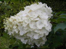 Hydrangea paniculata 'Silver Dollar' -Rispenhortensie-