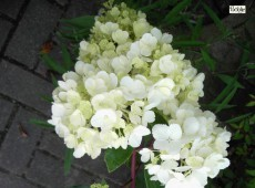 Hydrangea paniculata 'Vanille Fraise' ® -Rispenhortensie-