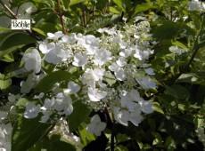 Hydrangea paniculata 'White Moth' -Rispenhortensie-