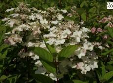 Hydrangea paniculata 'Wim's Red' -S- -Rispenhortensie-