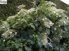 Hydrangea petiolaris -Kletterhortensie-