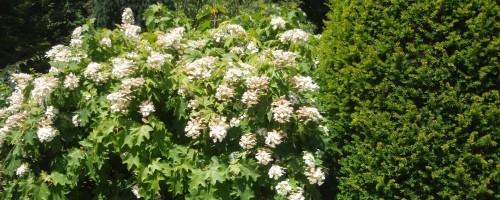 Hydrangea quercifolia (eichenblättrige Hortensien)