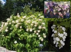 Hydrangea quercifolia -eichenblättrige Hortensie-