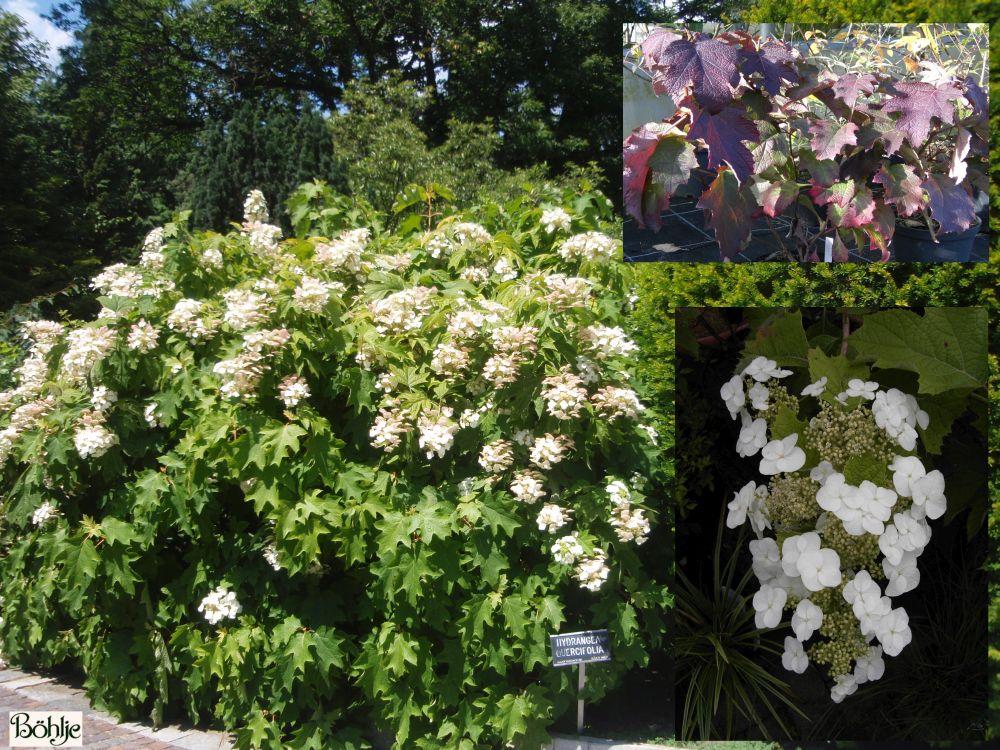 hydrangea quercifolia eichenbl ttrige hortensie b hlje. Black Bedroom Furniture Sets. Home Design Ideas