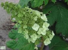 Hydrangea quercifolia 'Applause' -Eichenblatthortensie-