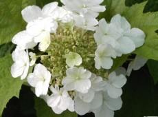 Hydrangea quercifolia 'Burgundy' -Eichenblatthortensie-