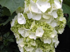 Hydrangea quercifolia 'Harmony' -Eichenblatthortensie-