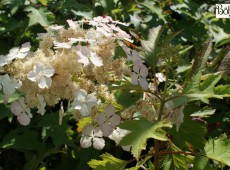Hydrangea quercifolia 'Ice Crystal' ® -Eichenblatthortensie-