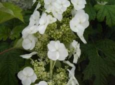 Hydrangea quercifolia 'Pee Wee' -Eichenblatthortensie-