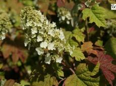 Hydrangea quercifolia 'Ruby Slippers' -Eichenblatthortensie-