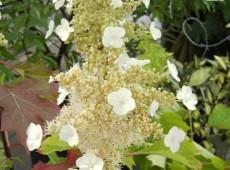 Hydrangea quercifolia 'Sike's Dwarf' -Eichenblatthortensie-
