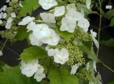 Hydrangea quercifolia 'Snow Queen' -Eichenblatthortensie-