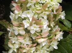 Hydrangea quercifolia 'Snowflake' -Eichenblatthortensie-
