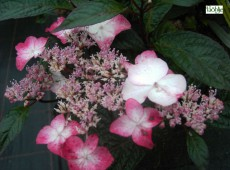 Hydrangea serrata 'Benigaku' -Tellerhortensie-