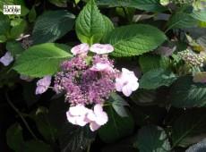 Hydrangea serrata 'Blue Billow' -Tellerhortensie-
