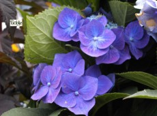 Hydrangea serrata 'Bluebird' -Tellerhortensie-