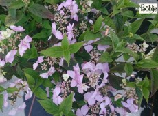 Hydrangea serrata 'Diadem' -Tellerhortensie-