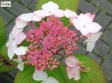 Hydrangea serrata 'Grayswood' -Tellerhortensie-
