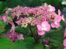 Hydrangea serrata 'Maiko' -Tellerhortensie-