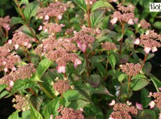 Hydrangea serrata 'Mount Aso'
