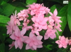 Hydrangea serrata 'Prolifera' -Tellerhortensie-