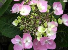Hydrangea serrata 'Rosalba' -Tellerhortensie-