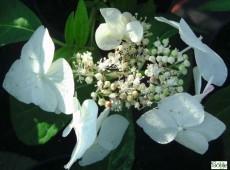 Hydrangea serrata 'Shiro-gaku' -Tellerhortensie-