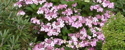 Hydrangea serrata Hybriden (Hortensien)