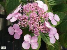 Hydrangea serrata 'Veerle' -Tellerhortensie-
