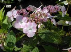 Hydrangea serrata acuminata / 'Intermedia' -Tellerhortensie-