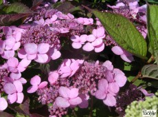 Hydrangea serrata var. koreana -Tellerhortensie-