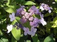 Hydrangea aspera 'Spinners' (villosa 'Spinners') -rauhblättrige Hortensie-