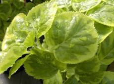 Hydrangea anomala ssp. petiolaris 'Miranda' -R-