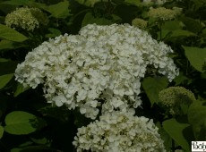 Hydrangea arborescens 'White Ball'