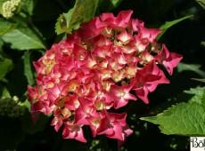 Hydrangea macrophylla 'Alpenglühen' -Bauernhortensie-
