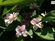 Hydrangea macrophylla 'Etoile Violette' -Bauernhortensie-